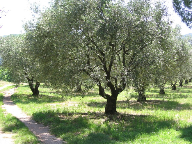 Olive Tree Grove in Fayence, France